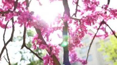 Pink tree blooming and bumblebee — Stock Video