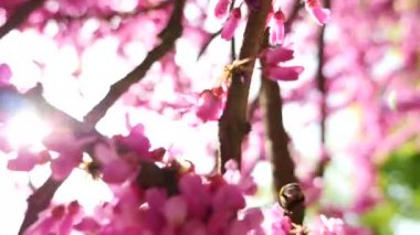 Pink tree blossom and bumblebee — Stock Video