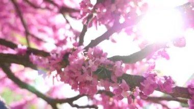Pink tree bloom — Stock Video