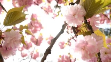 Sun highlight through the pink tree blooming — Stock Video