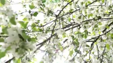 White pear blossoming — Stock Video