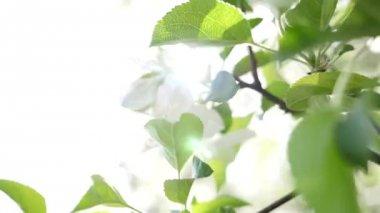 Primo piano del fiore di pera bianco — Video Stock