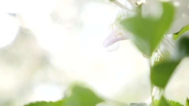 White pear blooming closeup — Stock Video