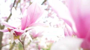 Magnolia blooming closeup — Vídeo de stock