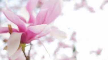 Magnolia bloom closeup — Stock Video