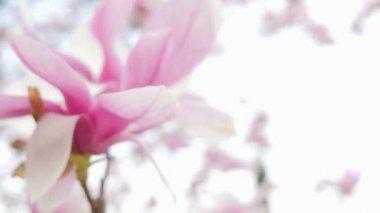 Magnolia bloom closeup — Stock Video