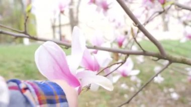 Magnolia bloom and baby — Stock Video