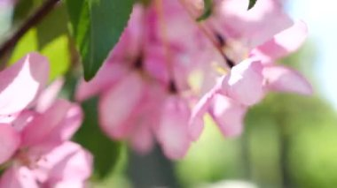 Pink peach blossom closeup — Stock Video