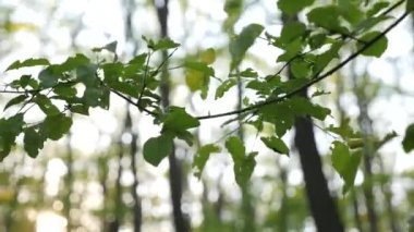 Twig with green leaves in the forest — Stock Video