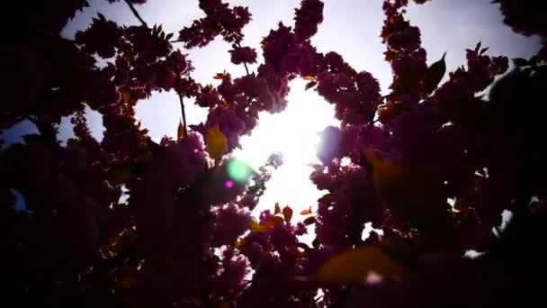 Japanese cherry blossoming — Vidéo
