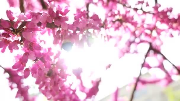 Floración de árbol rosa y abejorro — Vídeo de stock