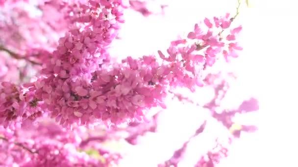 Abejorro y rosa árbol floreciente — Vídeo de stock