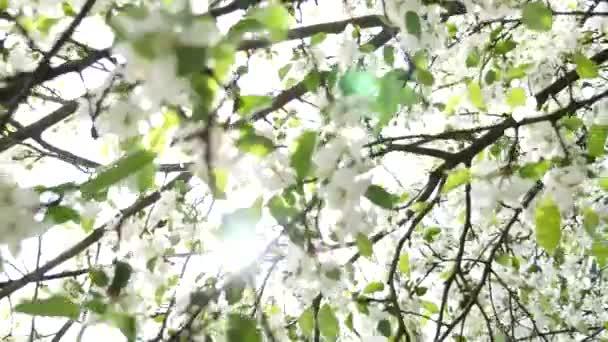 Flor de pera blanco — Vídeo de stock