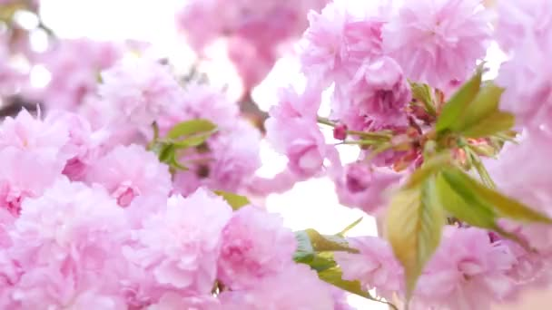 Pink cherry flowering closeup — Vidéo