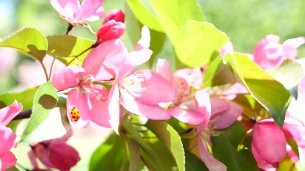 Ladybirl y rosa flor melocotón — Vídeo de stock