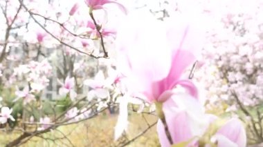 Beautiful bloom of magnolia closeup — Stock Video