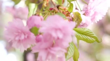 Child and cherry blossoming closeup — Wideo stockowe