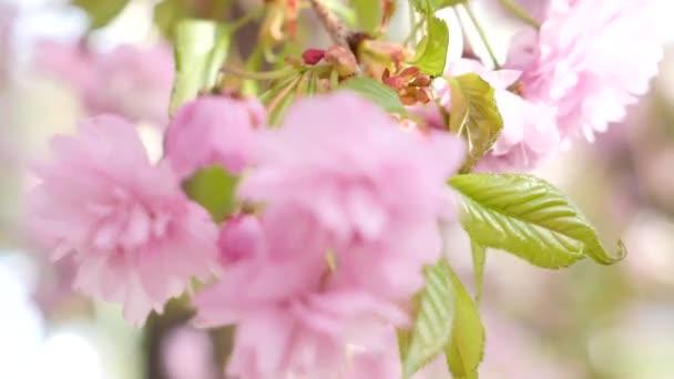 Niño y la cereza floreciente closeup — Vídeo de stock