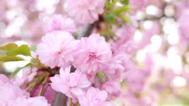 Cereza floreciente closeup — Vídeo de stock