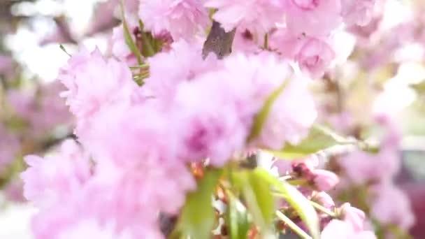Gros plan de fleurs de cerisier — Vidéo