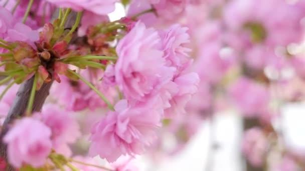 Closeup de la floración del cerezo — Vídeo de stock