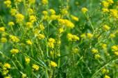 Contexto de flores amarelo — Fotografia Stock