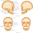 Human Skull structure — Stock Vector #54319915