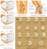 Anatomy of the Knee — Stock Vector