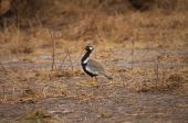 White-quilled Bustard — Stock Photo