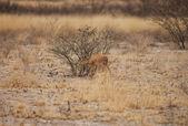 Impala baby — Stock Photo