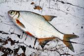 Fish bream on old wooden table — Stock Photo