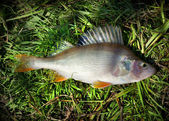Fish  river Perch — Stock Photo
