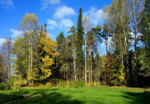 Forest, pine and birches — Stock Photo