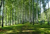 Birches in park — Stock Photo