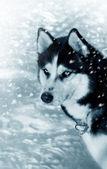Dog siberian husky on snow — Stock Photo
