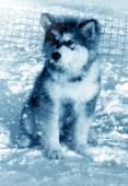 Dog puppy Alaskan Malamute on snow — Stock Photo