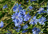 Blossoming wild flowers chicory — Stock Photo