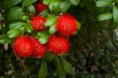 Flower Bush willow on tree, (Combretum erythrophyllum (Burchell) — Stock Photo