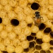 Yellow beautiful honeycomb with honey and young bee. — Stock Photo #62318995