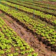 Lettuce plant field on ground in garden. — Stock Photo #62648459
