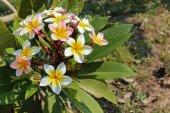 Plumeria or frangipani blossom on the plumeria tree. — Stock Photo