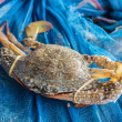 Постер, плакат: Crab or blue crab blue manna crab sand crab