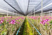 Orchid flowers blooming in orchid farm, agriculture. — Stock Photo