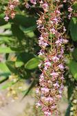 Flower of Epidendrum stamfordianum. — Stock Photo