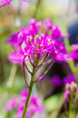 Epidendrum Orchid is a species of orchid. — Stockfoto