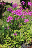 Epidendrum Orchid is a species of orchid. — Stock Photo