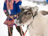 Portrait of a reindeer — Stock Photo