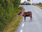 Rendieren in noorwegen — Stockfoto
