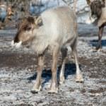 Northern domestic deer in his environment in Scandinavia — Stock Photo #68140283