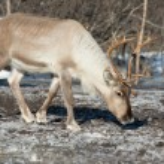 Northern domestic deer in his environment in Scandinavia — Stock Photo #68140297